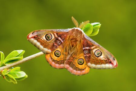 Emperor Moth - Saturnia pavonia, beautiful rare moth from European forests and woodlands, Czech Republic. 免版税图像
