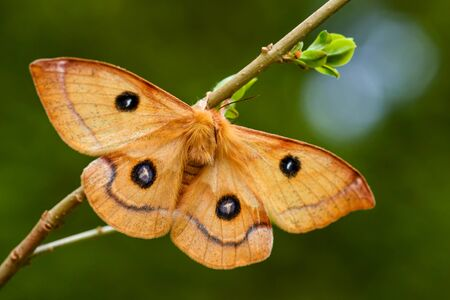 Tau Emperor - Aglia tau, beautiful moth from European forests and woodlands with tau letter on the wings, Czech Republic.