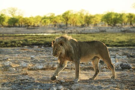 Lion - Panthera leo, iconic animal from African savannas, Etosha national park, Namibia. Reklamní fotografie - 129897393