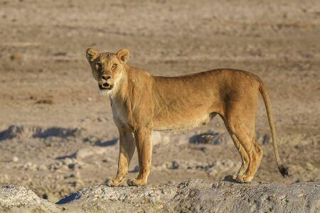 Lion - Panthera leo, iconic animal from African savannas, Etosha national park, Namibia.