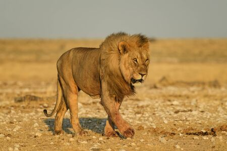 Lion - Panthera leo, iconic animal from African savannas, Etosha national park, Namibia. Reklamní fotografie - 129897398