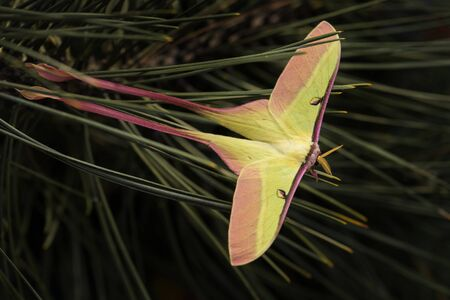 Chinese moon moth - Actias dubernardi, beautiful iconic moth from Chineese forests and woodlands. Reklamní fotografie - 129897761