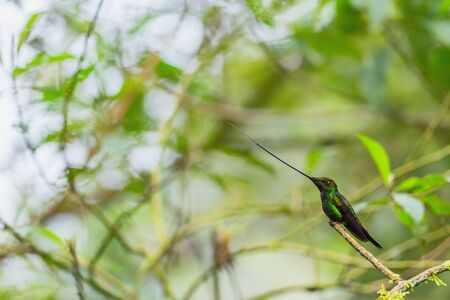 Sword-billed Hummingbird - Ensifera ensifera, popular long beak hummingbird from Andean slopes of South America, Guango Lodge, Ecuador. 写真素材