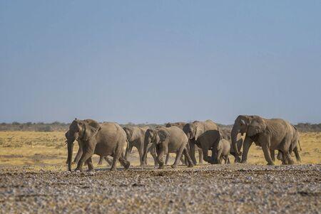 African Bush Elephant - Loxodonta africana, iconic member of African big five, Safari in Etosha, Namibia.