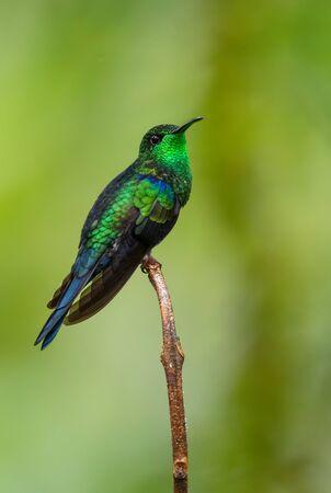 Gabelschwanz-Waldnymphe - Thalurania furcata, schöner Hals-leuchtender Kolibri von den Andenhängen Südamerikas, Wild Sumaco, Ecuador.