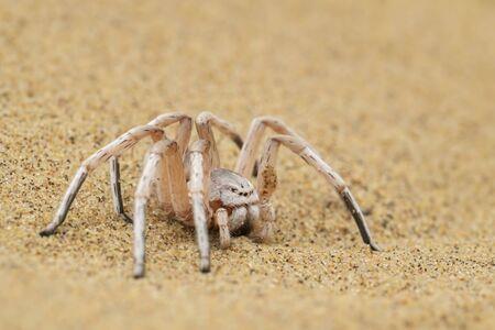 Wheel Spider - Carparachne aureoflava, beautiful white spider from Namib desert,  Walvis Bay, Namibia. Stock Photo