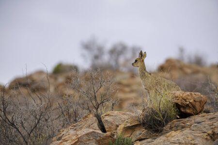 Klipspringer - Oreotragus oreotragus, small beautiful antelope from Africans hills and mountains, Namib desert, Namibia.