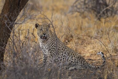 Leopard - Panthera pardus; beautiful iconic carnivore from African bushes, savannas and forests, Etosha National Park, Namibia.