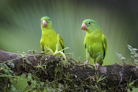 Orange-chinned Parakeet - Brotogeris jugularis, beatiful colorful parrot from Central America fores,  Costa Rica.