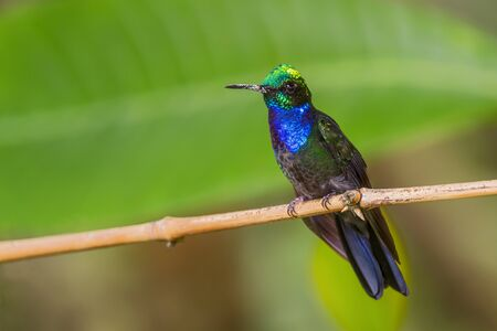 Napo Sabrewing - Campylopterus villaviscensio, beautiful colored hummingbird from Andean slopes of South America, Guango Lodge, Ecuador. Reklamní fotografie