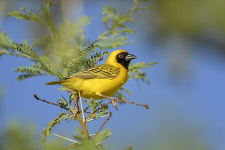 Southern Masked-weaver - Ploceus velatus, beautiful yellow black faced weaver from South Africa; Sossusvlei, Namibia. Reklamní fotografie