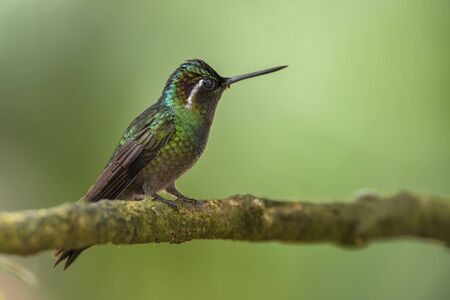 Purple-throated Mountain Gem - Lampornis calolaemus, beautiful green long beaked hummingbird from Costa Rica La Paz Waterfall.