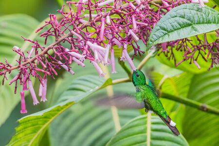 Rufous-vented Whitetip - Urosticte ruficrissa, beautiful green shining hummingbird from Andean slopes of South America, Wild Sumaco, Ecuador. Reklamní fotografie