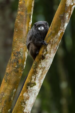 Graellss Black-mantle Tamarin- Saguinus nigricollis graellsi, shy tiny primate with white face from Andean slopes of South America, Wild Sumaco, Ecuador.
