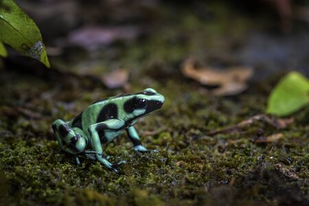 Dart Poison Frog - Dendrobates auratus, green and black frog from Cental America forest, Costa Rica.