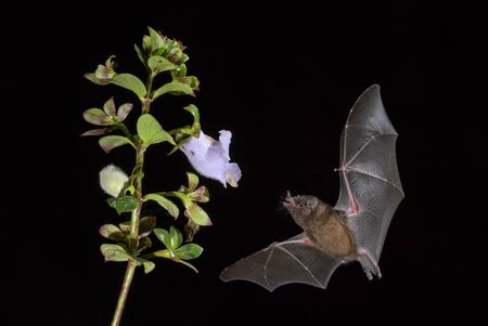 Orange Nectar Bat - Lonchophylla robusta; new world leaf-nosed bat feeding nectar on the flower in night, Central America forests, Costa Rica.
