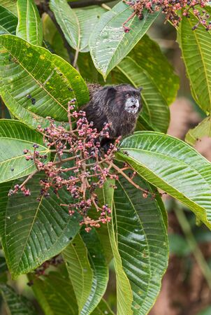Graellss Black-mantle Tamarin - Saguinus nigricollis graellsi, shy tiny primate with white face from Andean slopes of South America, Wild Sumaco, Ecuador. Reklamní fotografie