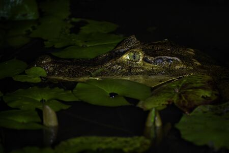 Spectacled caiman - Caiman crocodilus, common crocodile from New World, Costa Rica.