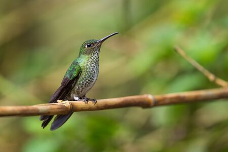 Many-spotted Hummingbird - Leucippus hypostictus, green spotted hummingbird from Andean slopes of South America, Wild Sumaco, Ecuador. Reklamní fotografie