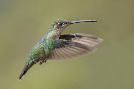 Magnificent Hummingbird - Eugenes fulgens, beautiful colorful  hummingbird from Central America forests, Costa Rica.