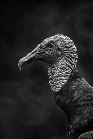 American Black Vulture - Coragyps atratus, black common vulture from Central America forests, Costa Rica. Reklamní fotografie