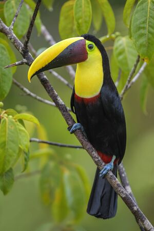 Yellow-throated toucan - Ramphastos ambiguus, large colorful toucan from Costa Rica forest.
