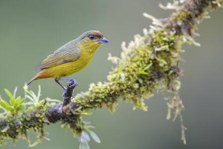 Olive-backed Euphonia - Euphonia gouldi; beautiful colorful perching bird from Costa Rica forest.