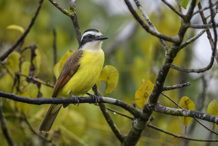 Great Kiskadee - Pitangus sulphuratus, beautiful yellow perching bird from Cental America, Costa Rica.