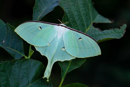 Chinese moon moth - Actias ningpoana, beatiful yellow green moth from Asian forests, China.