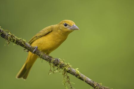 Summer Tanager - Piranga rubra, beautiful red tanager from Costa Rica forests and woodlands.