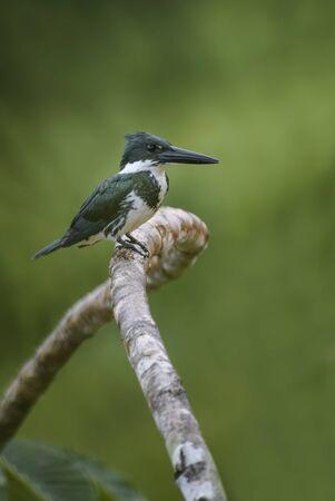 Amazon Kingfisher - Chloroceryle amazona, hermoso martín pescador verde y blanco de las aguas dulces del Nuevo Mundo, Costa Rica.