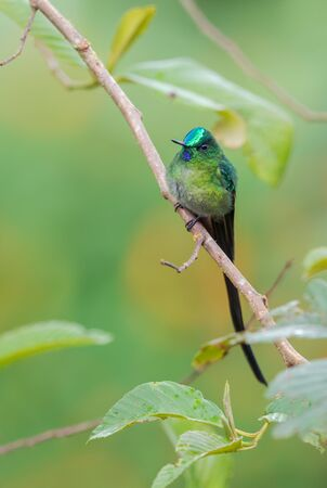 Long-tailed Sylph - Aglaiocercus kingi, beautiful long tailed hummingbird from cloudy forest of Andeans slopes, Guango Lodge, Ecuador, South America.