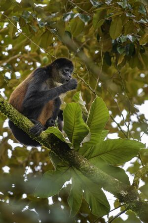 Central American Spider Monkey - Ateles geoffroyi; endangered spider monkey from Cental American forests, Costa Rica.
