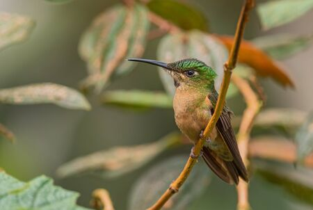 Fawn-breasted Brilliant - Heliodoxa rubinoides, beautiful green and brown hummingbird from Eastern Andean slopes of South America, Ecuador.