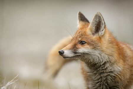 Red Fox - Vulpes vulpes, beautiful carnivores in winter from European forests, Czech Republic.
