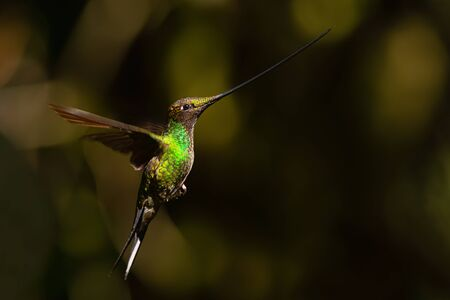 Sword-billed Hummingbird - Ensifera ensifera, popular long beak hummingbird from Andean slopes of South America, Yanacocha, Ecuador.