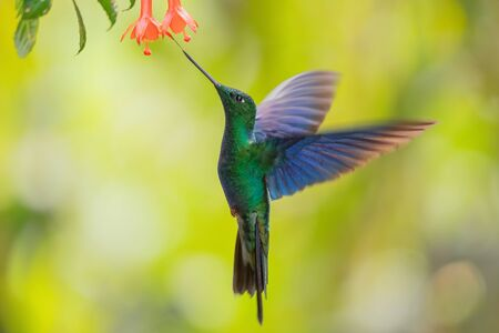 Great Sapphirewing - Pterophanes cyanopterus, hermoso colibrí grande con alas azules de las laderas andinas de América del Sur, Yanacocha, Ecuador. Foto de archivo