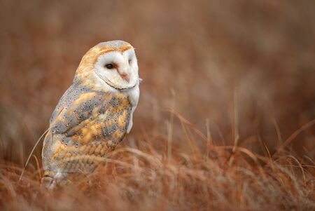 Barn Owl - Tyto alba, beautiful iconic orange owl from worldwide forests and woodlands, Czech Republic. Stock Photo