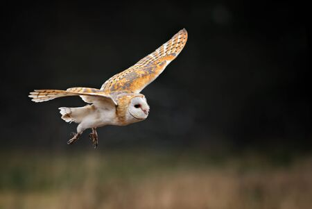 Barn Owl - Tyto alba, beautiful iconic orange owl from worldwide forests and woodlands, Czech Republic.