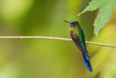 Violet-tailed Sylph - Aglaiocercus coelestis, beautiful long tailed hummingbird from western Andean slopes of South America, Mindo, Ecuador. Stock Photo