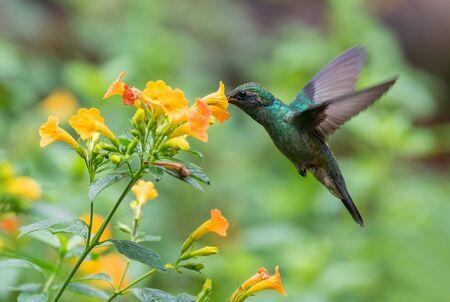 Green Violet-ear - Colibri thalassinus, beautiful green hummingbird from Central America forests, Mindo, Ecuador.