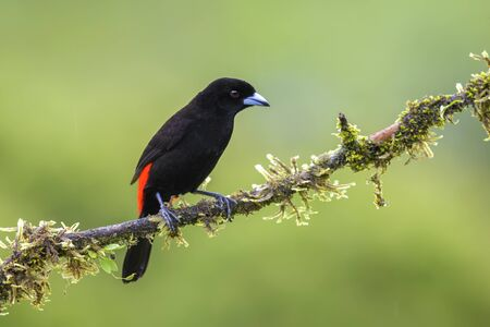 Scarlet-rumped Tanager - Ramphocelus passerinii, beatiful black and red tanager from Costa Rica forest.