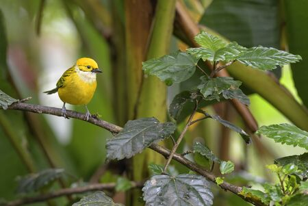Silver-throated Tanager - Tangara icterocephala, small yellow tanager from Costa Rica.