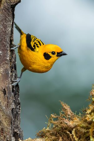 Golden Tanager - Tangara arthus, beautiful yellow tanager from from western Andean slopes, Mindo, Ecuador.