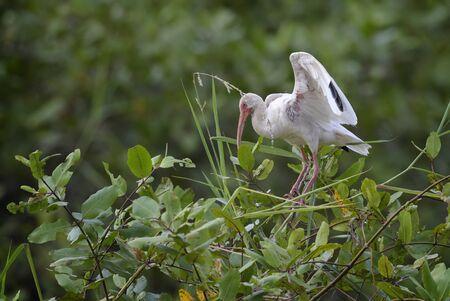 White Ibis - Eudocimus albus, medium size bird from New World wetlands, Costa Rica.