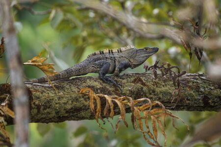 Schwarzer Stachelschwanz-Leguan - Ctenosaura similis, große Eidechse aus den Wäldern Mittelamerikas, Costa Rica. Standard-Bild