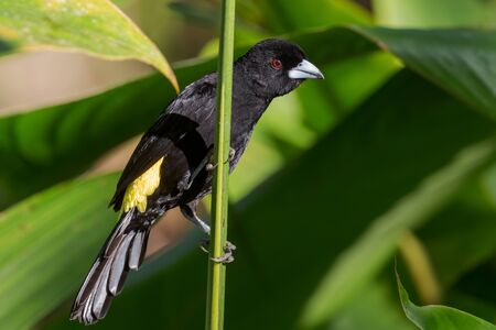 Flame-rumped Tanager - Ramphocelus flammigerus, beautiful black and yellow tanager from western Andean slopes, Amagusa, Ecuador.