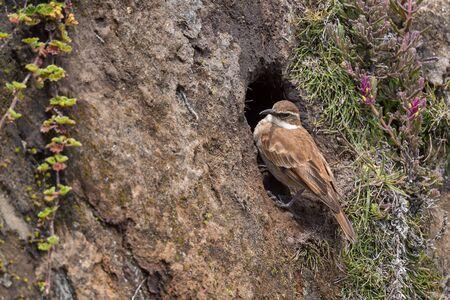 Chestnut-winged Cinclodes - Cinclodes albidiventris, rare high-altitude bird from Andes, Antisana, Ecuador. Banco de Imagens