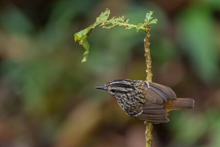Warbling Antbird - Hypocnemis cantator, small shy perching bird from eastern Andean slopes, Wild Sumaco, Ecuador.