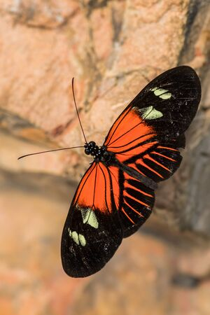 Common Postman - Heliconius melpomene, beautiful colored brushfoot butterfly from Central American meadows and forests, Mexico. Stock Photo